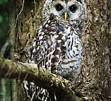 Barred Owlet by Christina Rollo