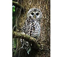 Barred Owlet Photographic Print