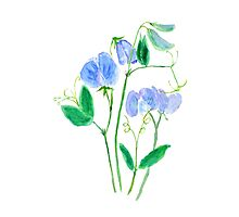 blue sweet peas flowers watercolor painting  Photographic Print