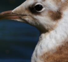 Portrait Of A Young Black-Headed Gull Sticker
