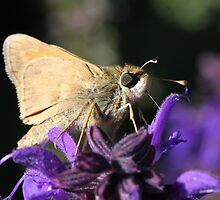 Skipper sipping nectar by Sheryl Hopkins