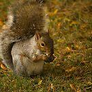 Eastern Grey Squirrel - 2 - 2013 by njumer