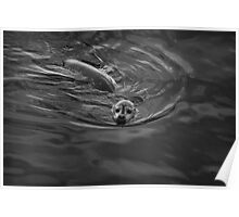 Harbor Seal IV BW Poster