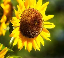 Sunflower by Christina Rollo
