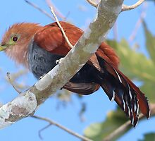 Squirrel Cuckoo by hummingbirds