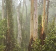 Tall Timber - Mount Wilson NSW - The HDR Experience by Philip Johnson