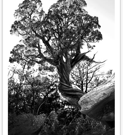 Twisted Trees in Garden of the Gods Sticker