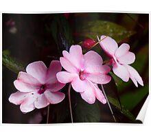 Pink Impatiens Flowers Poster