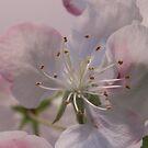 Apple Blossom by Martha Medford