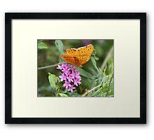 Male Cruiser Butterfly Framed Print