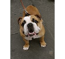 Cutest Bulldog ever Photographic Print
