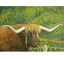 Highland cow and dandelions Photographic Print