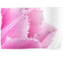Pink Fringed Tulip on White Background Poster