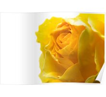 Closeup of Yellow Rose on White Poster