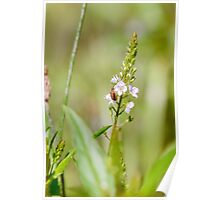Purple Loosestrife Beetle on a Water Speedwell Flower Poster