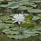 Lily Pads by lisapowell
