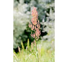 Rumex Acetosella in the Meadow Photographic Print