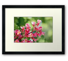 Aesculus x Carnea, or Red Horse-chestnut Flower Framed Print
