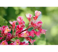 Aesculus x Carnea, or Red Horse-chestnut Flower Photographic Print