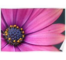 Purple Osteospermum (daisy) flower Poster