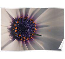 White/Purple Osteospermum (daisy) flower Poster