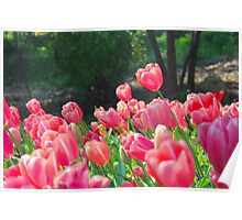 Pink tulip flowers Poster