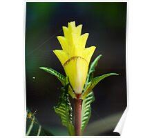 Zebra Plant Poster