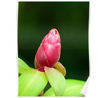 Backscratcher Ginger Flower Bud Poster