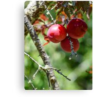 Plum harvest Canvas Print