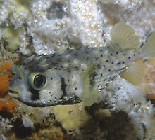 Three-barred Porcupinefish, Ship Rock, Port Hacking by Erik Schlogl