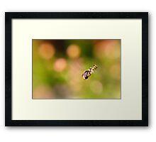 Hoverfly in flight Framed Print