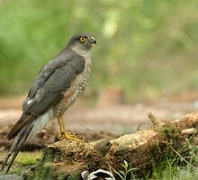 Male sperrowhawk by Peter Wiggerman
