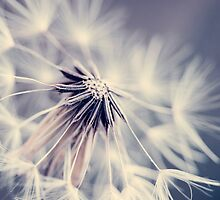 Old Dandelion by alyphoto