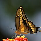 Giant Swallowtail Butterfly Too by SBNature
