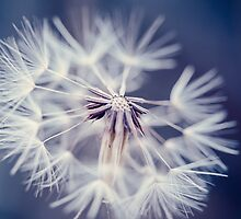 Blue Dandelion by alyphoto