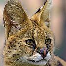 Serval Cat by Steve Randall