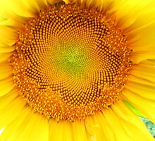 Sunflower 7 by Kevin J Cooper