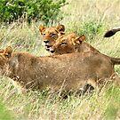 TRIPLE TROUBLE - THE LION - – Panthera leo - LEEU by Magriet Meintjes