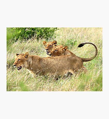 TRIPLE TROUBLE - THE LION - – Panthera leo - LEEU Photographic Print