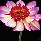 Fiery Pink Dahlia by Laura Bell