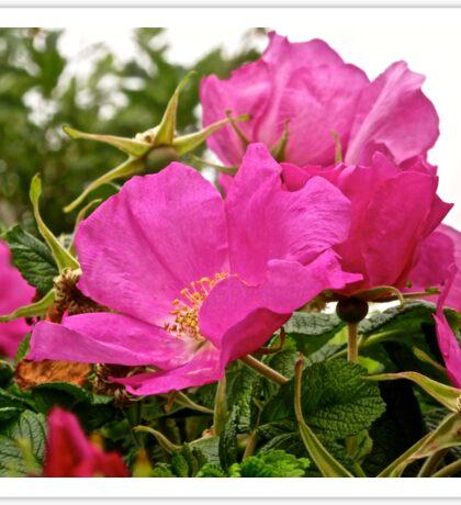 Wild Pink Irish Roses Sticker