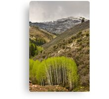 Aspens in Early Summer Storm Canvas Print