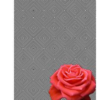 bw squares and pink rose Photographic Print