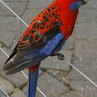 Crimson Rosella portrait by Michael Matthews