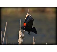 Red-Winged Blackbird Flight Photographic Print