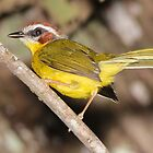 Rufous-capped Warbler by hummingbirds