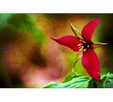 Ohio Wild Trillium  Photographic Print