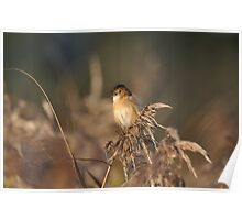 The Golden-headed cisticola Poster