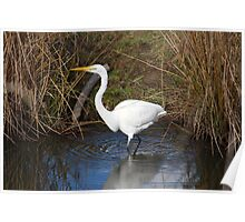 Just Right (Great Egret) Poster