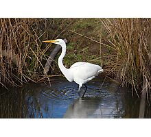 Just Right (Great Egret) Photographic Print